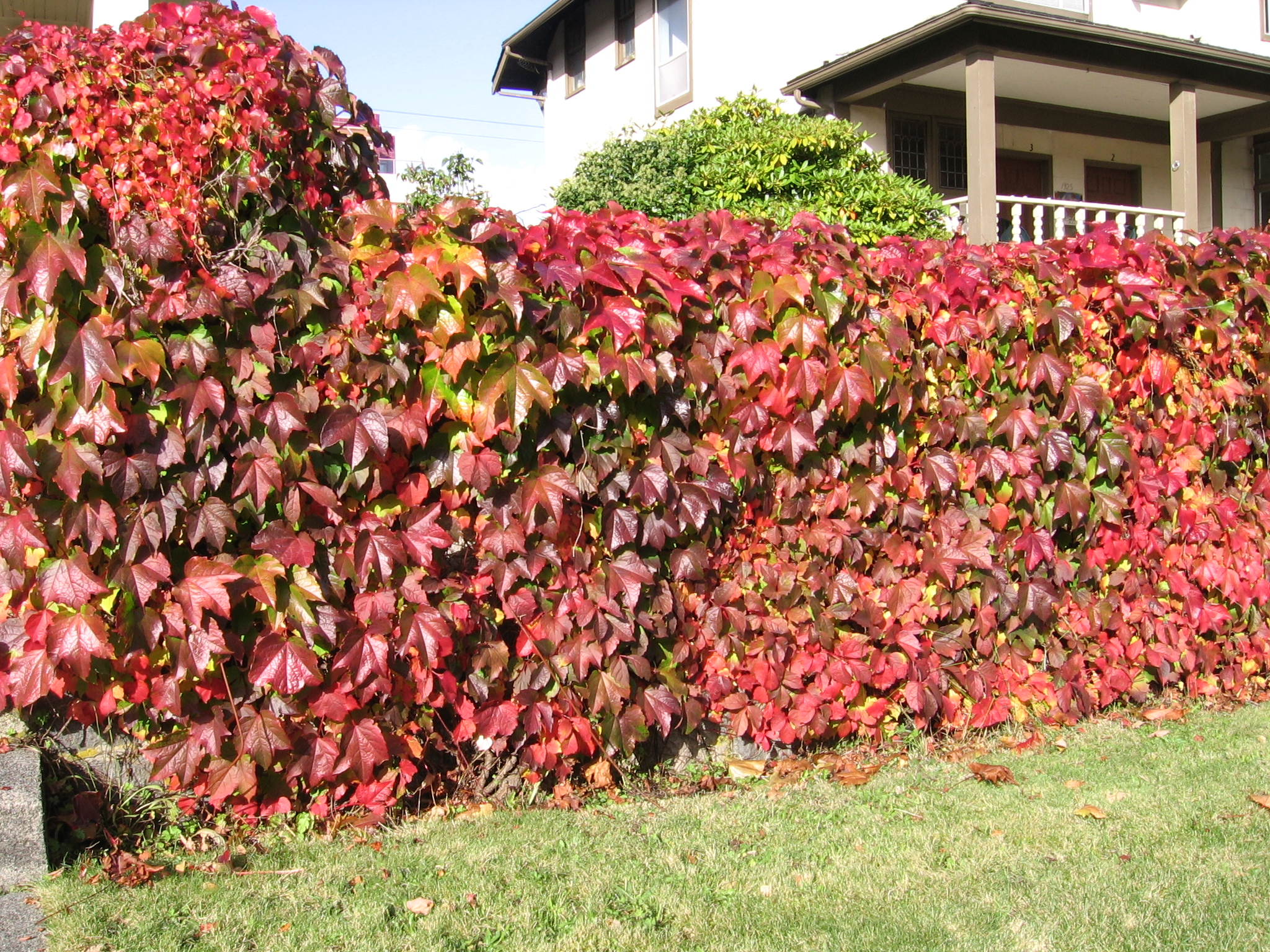 Fence of Virginia Creeper